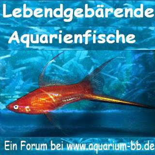 Aquarium-bb lebendgebärend
