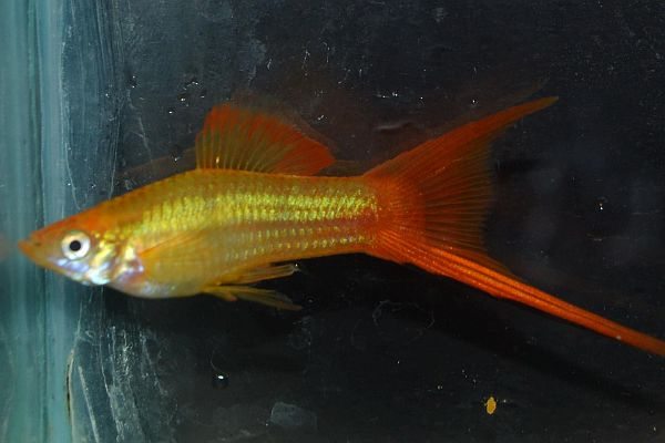 Foto and breeder: Double swordtail of Pavel Otroschenko